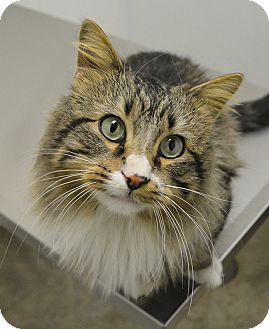 Domestic Longhair Cat for adoption in Springfield, Illinois - Hamilton