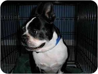 Boston Terrier Dog for adoption in Woodbridge, Virginia - Cody