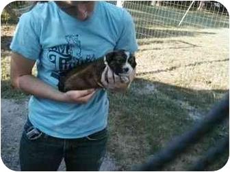 Border Collie Mix Puppy for adoption in Mt Vernon, Missouri - Sara