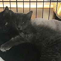 Adopt A Pet :: Jessie & James bonded pair - Houston, TX