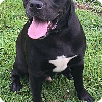 Boxer/Pit Bull Terrier Mix Dog for adoption in Morehead, Kentucky - Keno