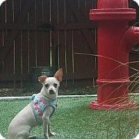 Adopt A Pet :: Suzie - Washington, DC