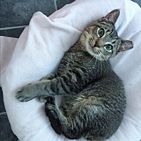 Adopt A Pet :: Tom the Tabby - Middletown, NY
