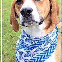 Adopt A Pet :: Andy - Batesville, AR