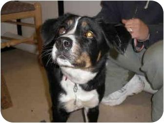 Border Collie Mix Dog for adoption in Manassas, Virginia - Mattie