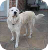 Great Pyrenees Mix Dog for adoption in Carrollton, Texas - Brutus