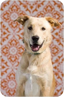 Labrador Retriever Mix Dog for adoption in Portland, Oregon - Ollie