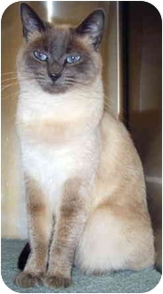 Siamese Cat for adoption in Grass Valley, California - Sarah