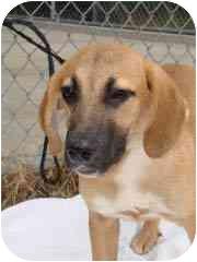 Mastiff Mix Puppy for adoption in Hammonton, New Jersey - Pauper