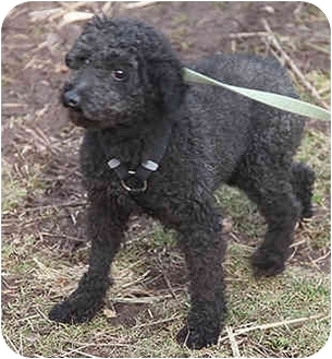 Poodle (Toy or Tea Cup) Dog for adoption in PRINCETON, New Jersey - Onyx