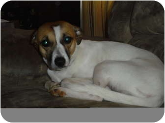 Jack Russell Terrier/Pointer Mix Dog for adoption in Stockton, Missouri - Polly