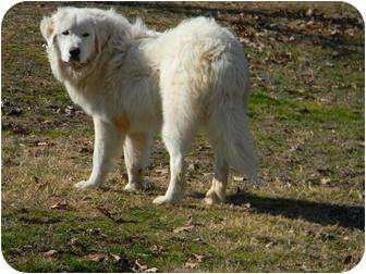 Great Pyrenees Dog for adoption in Muldrow, Oklahoma - Harley