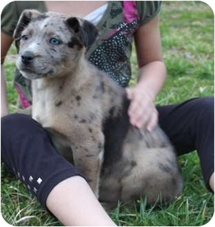 Cattle Dog Mix Puppy for adoption in Spring Valley, New York - Coco