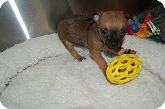 Chihuahua Mix Puppy for adoption in Flower Mound, Texas - Cappy