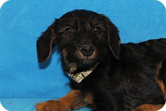 Terrier (Unknown Type, Medium)/Fox Terrier (Smooth) Mix Puppy for adoption in Broomfield, Colorado - Montel Williams