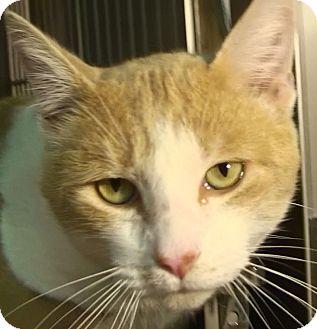 Domestic Shorthair Cat for adoption in El Cajon, California - O'Neil