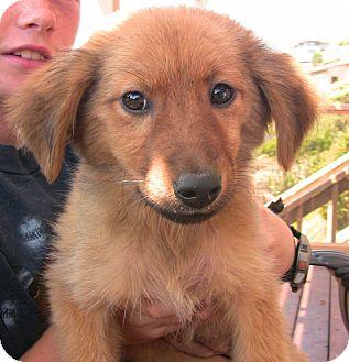 Golden Retriever/Australian Shepherd Mix Puppy for adoption in Poway, California - Barney Google