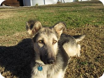 German Shepherd Dog Mix Dog for adoption in Sunset Hills, Missouri - Jasper