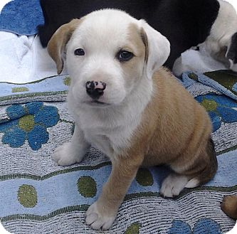 American Bulldog/Labrador Retriever Mix Puppy for adoption in Brooksville, Florida - 'CHUNKY MONKEY'