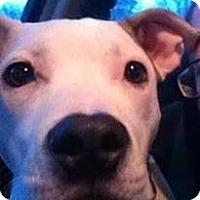 Adopt A Pet :: Oj - Milford, MI