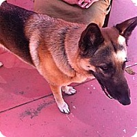 Adopt A Pet :: Nita - beautiful GSD! - Los Angeles, CA
