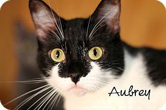 Domestic Shorthair Cat for adoption in Wichita Falls, Texas - Aubrey