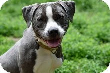 Pit Bull Terrier Dog for adoption in South Park, Pennsylvania - Pebbles
