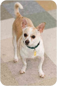 Chihuahua Mix Dog for adoption in Portland, Oregon - Ike