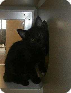 Domestic Mediumhair Kitten for adoption in tama, Iowa - Bobby