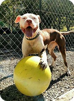 Staffordshire Bull Terrier Mix Dog for adoption in Spring Valley, New York - Jojo (ETAA)