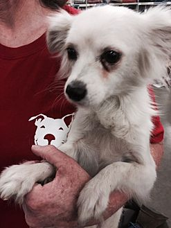 Papillon Mix Dog for adoption in Fresno, California - Paquito