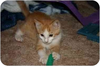 Domestic Shorthair Kitten for adoption in Tracy, California - Prince