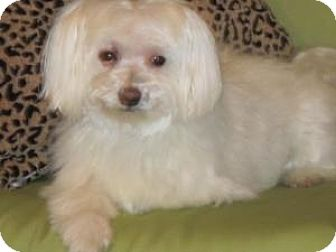 Maltese Dog for adoption in West Harrison, New York - Malty (FL)
