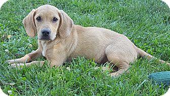 Basset Hound/Labrador Retriever Mix Puppy for adoption in New Oxford, Pennsylvania - Ellie Baby