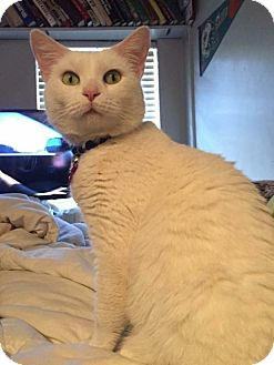 Domestic Shorthair Cat for adoption in Baltimore, Maryland - Snow