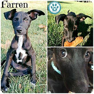 Italian Greyhound Mix Puppy for adoption in Kimberton, Pennsylvania - Farren