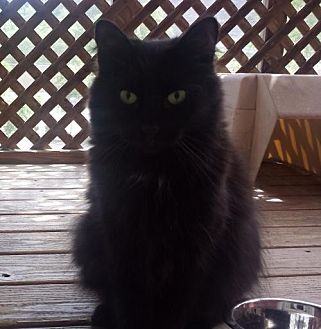 Domestic Longhair Cat for adoption in Pittsburgh, Pennsylvania - Jake