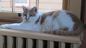 Domestic Shorthair Cat for adoption in St. Paul, Minnesota - Libby and Momo