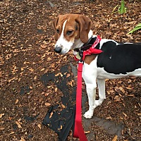 Treeing Walker Coonhound Dog for adoption in Decatur, Georgia - Bobby
