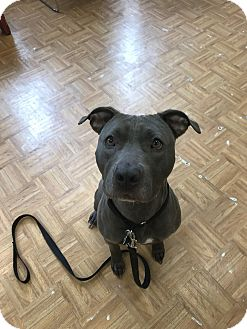 Pit Bull Terrier Mix Dog for adoption in Oak Park, Illinois - Macy
