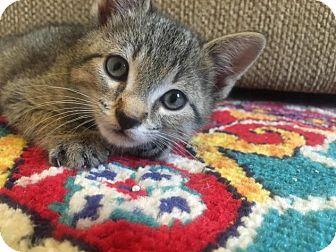 Domestic Shorthair Kitten for adoption in NEW YORK, New York - Sheldon