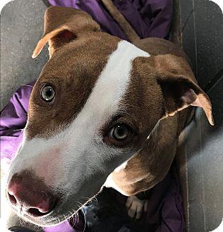 American Staffordshire Terrier Mix Puppy for adoption in Sierra Vista, Arizona - Veteran