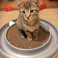 Adopt A Pet :: Strawberry - Wichita, KS