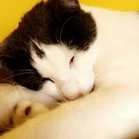 Domestic Shorthair/Domestic Shorthair Mix Cat for adoption in Fort Smith, Arkansas - Jackson
