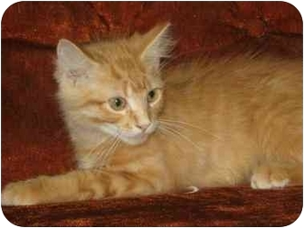 Domestic Longhair Kitten for adoption in Vinton, Iowa - Twizler
