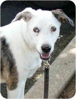 Australian Shepherd/Catahoula Leopard Dog Mix Dog for adoption in Sacramento, California - Sweet Georgia gentle