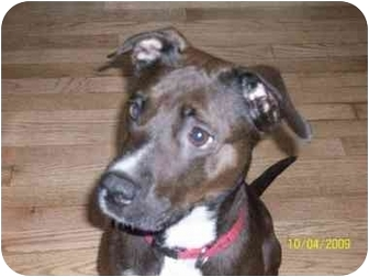 Labrador Retriever/American Pit Bull Terrier Mix Dog for adoption in Plainfield, Illinois - Taylor
