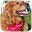 Photo 2 - Golden Retriever Mix Dog for adoption in Palatine, Illinois - RUSTY
