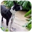 Photo 1 - Boston Terrier Dog for adoption in Temecula, California - Snickerdoodle