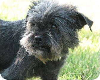 Affenpinscher Dog for adoption in Seymour, Missouri - ALICE in Wichita, KS.